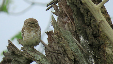 This Spotted Owlet didn't exactly tuck itself in for the day. Photo by guide Phil Gregory.