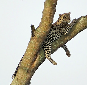 Leopards are surprisingly arboreal. Getting high up in trees to rest and consume prey keeps them out of the way of other predators. We were thrilled to spot this beauty.  Photo by participant Warren Jones.