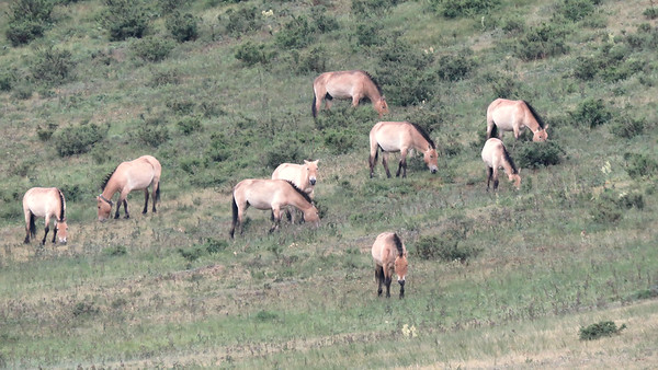 Przewalski's Horse is an endangered wild species that numbers only in the hundreds. Photo by guide Phil Gregory.