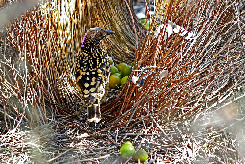 The male Western Bowerbird, shown in this very cool image by participant Greg Griffith, contructs a bower of rows of sticks and twigs and then accentuates this with green and white decorations. Ladies welcome!