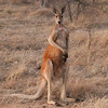 The Red Kangaroo is both the largest species of kangaroo and Australia's largest native mammal. (Photo by participant Greg Griffith)