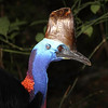 Whoa! Hello there, Southern Cassowary. This one has an impressive casque on the head. The purpose of such a casque is debated but it may be useful in amplifying or receiving sound. The boom of the cassowary is the lowest known bird call, barely audible to the human ear. (Photo by participant Greg Griffith)
