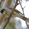 "Not to be confused with the furnariid ""miners"" of South America, the Noisy Miner is a honeyeater endemic to eastern Oz. (Photo by participant Greg Griffith)"