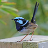 The male Superb Fairywren is incredibly snazzy-looking in breeding plumage. Like some other fairywrens, this species is unusual in being socially monogamous, but sexually promiscuous. The fairywrens are a family endemic to Australia and New Guinea. (Photo by participant Greg Griffith)