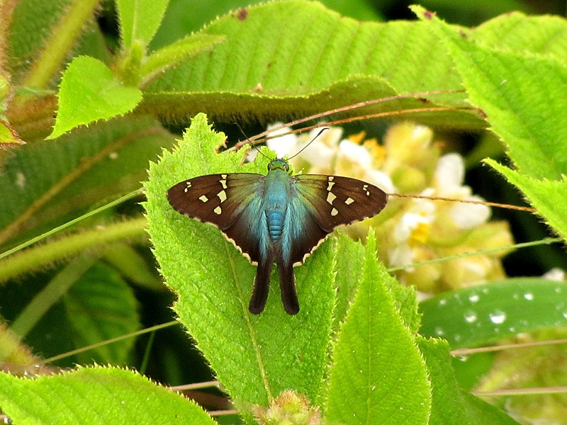 """Although many of the """"jewels"""" on this tour come in the form of hummingbirds, there are some delightful other critters as well including this butterfly, an Urbanus sp. (long-tailed skipper) along the Old Loja-Zamora Road. (Photo by guide David Geale)"""
