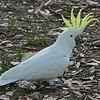 Parrots in Australia are unlike parrots anywhere else in the world. Perhaps none is more iconic than the Sulphur-crested Cockatoo. (Photo by participant Greg Griffith)