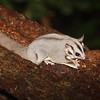 The Australian version of the flying squirrel, the Sugar Glider (Petaurus breviceps) is actually a gliding possum. (Photo by participant Greg Griffith)