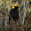 The Regent Bowerbird is a signature species at O'Reilly's Rainforest Guesthouse, where birds are numerous and many are extremely tame. (Photo by participant Greg Griffith)