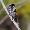 The very distinctive New Holland Honeyeater is a nectarivore and a key pollinator of many native Australian plants. (Photo by participant Greg Griffith)