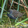 An Australian Crake rests near some reeds. (Photo by participant Greg Griffith)