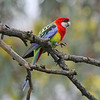 Another wonderful Australian parrot is the Eastern Rosella, with quite an amazing assortment of colors! (Photo by participant Greg Griffith)