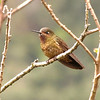 One of only a few truly Ecuadorian endemics, the endangered Violet-throated Metaltail has a very small range, with records primarily from the Cajas basin (where this one was seen). This one seems to be a young male. (Photo by guide David Geale)