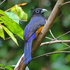 A White-tailed Trogon sits at attention. (Photo by participant Greg Griffith)