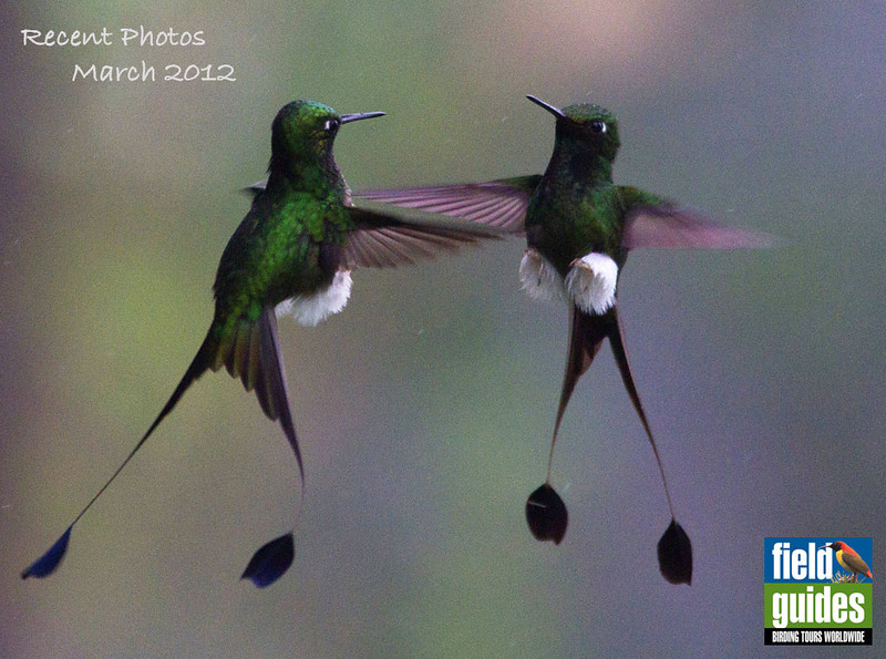 The photos have been rolling in from participants and guides alike on our recent tours, and this month's recent photos gallery will just scratch the surface--but with some great ones, like these lovely Booted Rackettails by participant Yvonne Bombardier from the first of our two recent Jewels of Ecuador tours. Great image! We'll get back to Ecuador pics shortly, but first...