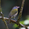 How many times have we heard the widespread Rufous-browed Peppershrike calling off in the forest on our neotropical tours? Probably dozens of times for every one seen! This one made an appearance out in the open for us. (Photo by participant Ken Havard)