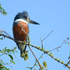 The entirely rufous chest of this massive Ringed Kingfisher indicates it's a male. (Photo by guide Peter Burke)