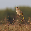 A Great Pampa-Finch claims its territory with song. (Photo by participant Ken Havard)