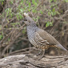 The shock of white for a tuft on a Scaled Quail isn't long but it is definitely conspicuous in the field. (Photo by guide Chris Benesh)
