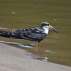 Participants Bob Sprague and Amy Levengood snapped this sharp image of an immature Black Skimmer.