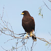 Harris's Hawks are not only attractive but fascinating: they're highly unusual among raptors in hunting cooperatively in pairs or small groups. (Photo by guide Chris Benesh)