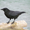 The status of Northwestern Crow as a full species seems to be the topic of frequent discussion. Some speculate that lumping it with several subspecies of American Crow might be more accurate. Pacific Crow anyone?  (Photo by guide Terry McEneaney)