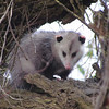 """Believe it or not, the """"best"""" mammal of the tour was a Virginia Opossum. The isolated population in the West was introduced. (Photo by guide Terry McEneaney)"""