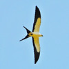 Few birds rival the grace and beauty of a Swallow-tailed Kite in flight. (Photo by participants Bob Sprague and Amy Levengood)