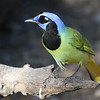 Classic South Texas: Green Jay is one of the hallmarks of Rio Grande Valley birding. (Photo by guide Chris Benesh)