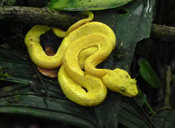 How does a bright yellow pit viper conceal itself? Well, most of the time, Eyelash Vipers pick a more matching background! But we were glad to easily be able to spot this one... (Photo by guide Jay VanderGaast)