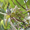 ...and enjoy a great variety of birds from the tiny Guianan Streaked-Antwren to...
