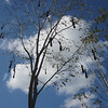Hard to miss an oropendola nest tree: these are Chestnut-headeds, in an image by participant Roger Rittmaster.