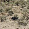 A Bald Ibis in its very dry habitat in Lesotho. (Photo by guide Terry Stevenson)