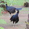 ...see some regional specialties like Black Curassow...