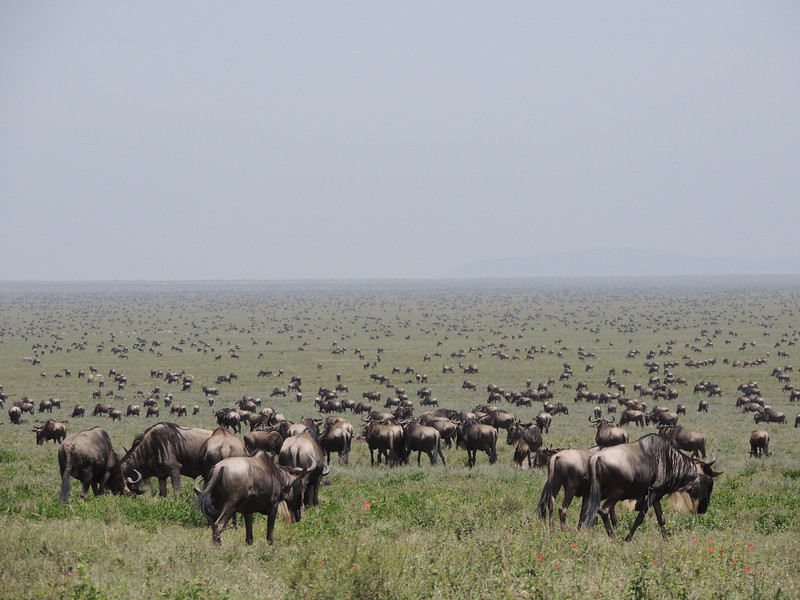 Classic East Africa: Wildebeest on the Serengeti reach to the edge of vision. (Photo by guide Terry Stevenson)