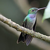 Magnus also captured this portrait of a Blue-chested Hummingbird. The Camp's feeders were a great place to watch hummers.