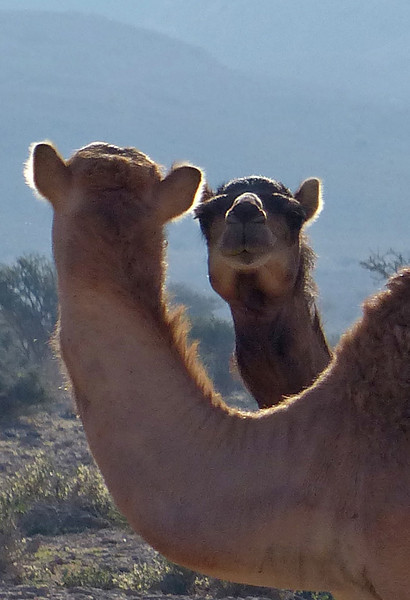 This gave us a chuckle, and at first we thought there was a mirror involved. Camels make for great subjects. (Photo by participant Charlotte Byers)