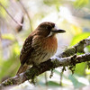 So many birds are endemic either to Colombia or just reach into NW Venezuela: another example, this Moustached Puffbird that gave us great views. (Photo by guide Jesse Fagan)