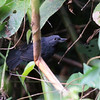 Another Colombia-NW Venezuela endemic: Recurve-billed Bushbird! Our group saw it very well in bamboo near Ocana. (Photo by guide Jesse Fagan)