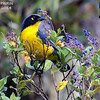 So many recent tours to include in this month's gallery... We're not quite sure where to begin, but Colombia's as good a place as any! Herewith, some photos from one of guide Jesse Fagan's recent tours, including this lovely Black-cheeked Mountain-Tanager, a Santa Marta Mountains endemic.