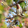 The lovely Dwarf Cuckoo's not an endemic, but since it's restricted to Colombia and Venezuela any sighting's a good one! (Photo by guide Jesse Fagan)