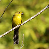 Not flashy, but another Colombian endemic: Yellow-headed Brush-Finch (Photo by guide Jesse Fagan)