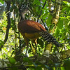 The female Great Curassow has all the plumage pizzazz...a very cool bird. (Photo by guide Jay VanderGaast)