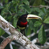 With that brilliant bill, it's hard to miss an Ivory-billed Aracari. (Photo by participant Jason Leifester)