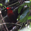 Crested Ant-Tanager is another Colombian endemic, and the group found five near Libano. (Photo by guide Jesse Fagan)