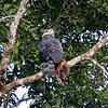 An undisputed highlight of the tour was coming upon this Harpy Eagle with its sloth prey. (Photo by participant Rick Woodruff)