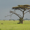 This image sets the scene nicely: a Cheetah and lone acacia tree punctuate the savannah. (Photo by guide Terry Stevenson)
