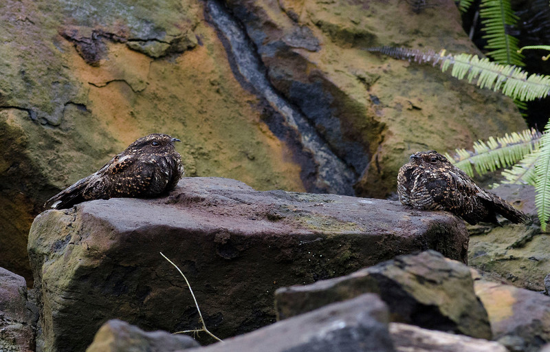 A very cool setting for a portrait of two Blackish Nightjars (Photo by participant Don Taves)