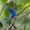 This image by participant Magnus Persmark gives a nice comparison of the male (foreground) and female Blue Dacnis plumages, both colorful but quite different.