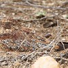 Point-blank views of this Least Nighthawk were another highlight of our NE Brazil tour with guides Bret Whitney and Marcelo Padua. (Photo by participant Kathy Brown)