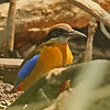 A Mangrove Pitta in its element gave our group some fine looks. (Photo by participant Bill Fraser)
